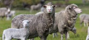 Merino ewe and lamb